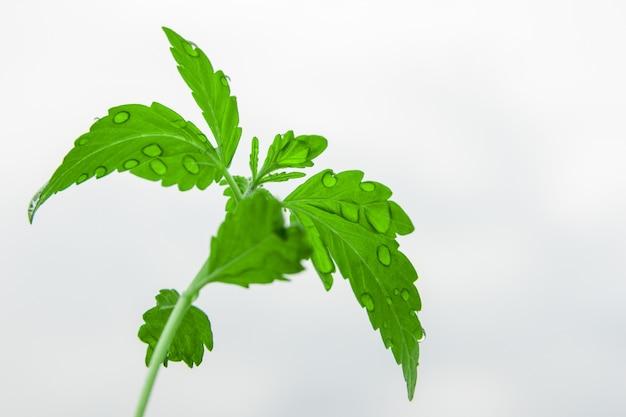 Junger spross von cannabis mit wassertropfen auf hellem hintergrund. nahansicht