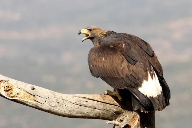 Junger steinadler, raubvögel, vögel