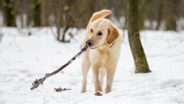 Junger süßer golden retriever hund, der beim winterspaziergang im verschneiten holz einen langen stock in den zähnen hält