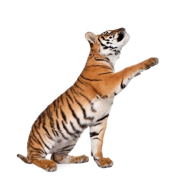 Junger tiger lokalisiert auf weiß