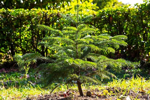 Junger weihnachtsbaum im park ein kleiner nadelbaum im freien an einem sonnigen frühlingstag