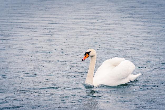 Junger weißer schwan im teich an einem regnerischen tag im zeitigen frühjahr.
