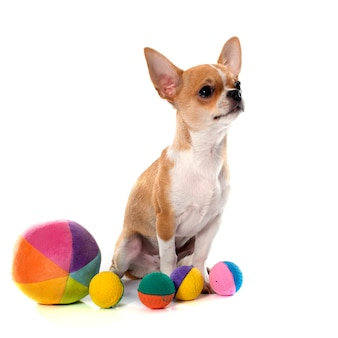 Junger welpe chihuahua