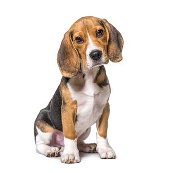 Junger welpe drei monate alter beagles-hundesitter, isoliert