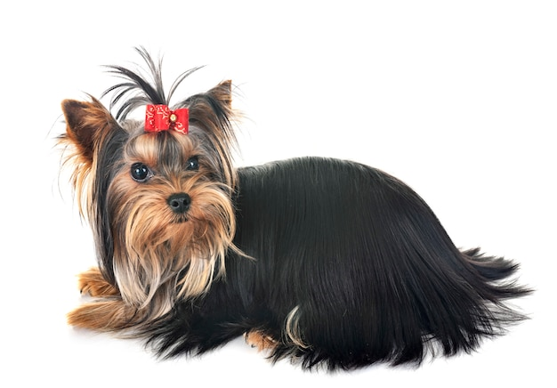 Junger yorkshire-terrier
