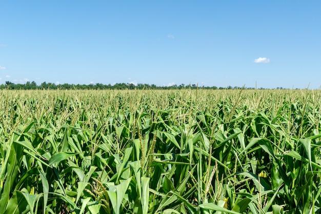 Junges frisches maisfeld, das mit blauem himmel wächst