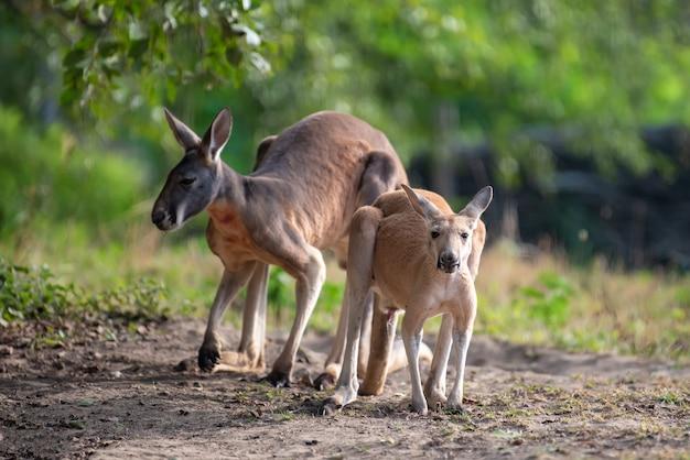 Junges känguru in einem natürlichen lebensraum im gras