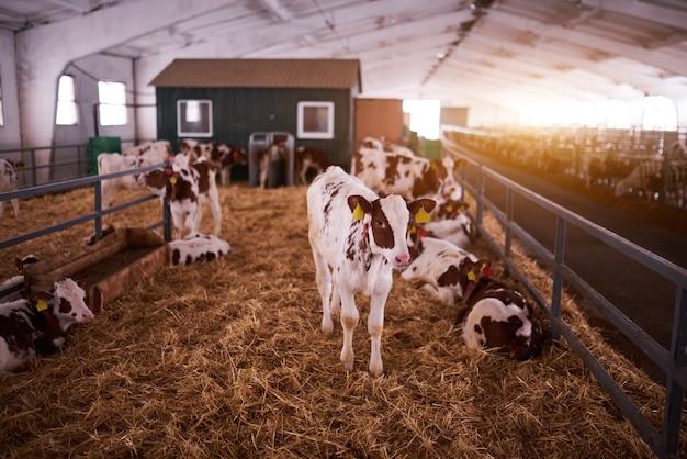 Junges kalb in einem kindergarten für kühe in einer milchfarm. neugeborenes tier.