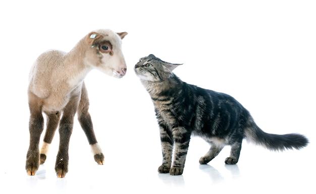 Junges lamm und kätzchen
