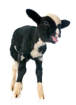 Junges lamm