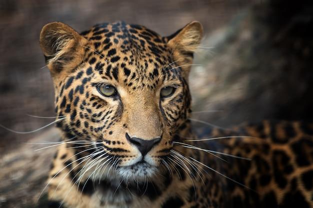 Junges leopardenporträt