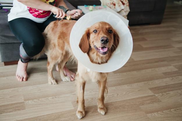 Junges mädchen, das an ihrem hund golden retriever mit elisabethanischem plastikkegel kämmt.