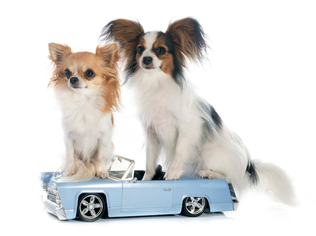 Junges papillon und chihuahua