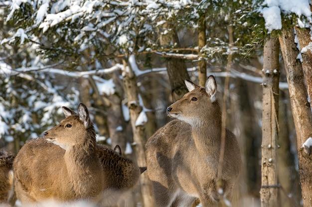 Junges reh im winterwald