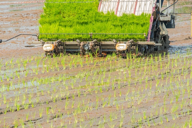 Junges reisfeld der plantage mit reis tranplanter. motorplantage