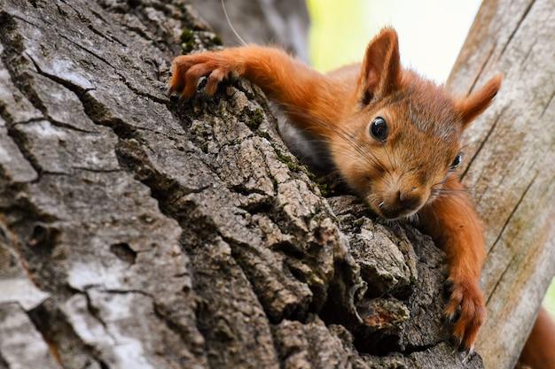 Junges rotes eichhörnchen, das auf einem baum liegend ruht