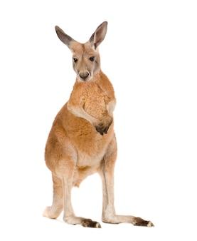 Junges rotes känguru (9 monate) - macropus rufus isoliert