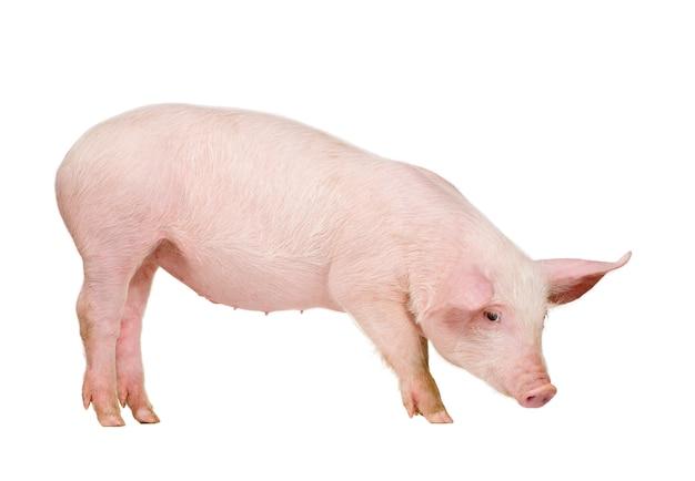 Junges schwein mit 1 monat isoliert