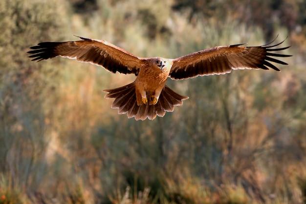 Junges spanisches kaiseradlerfliegen. aquila adalberti