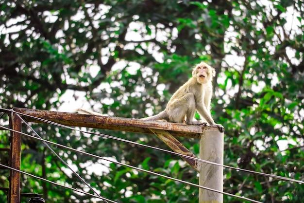 Jungle monkeys klettern auf elektrische stöcke, um nach spitzen und früchten zu suchen, die auf den boden fallen