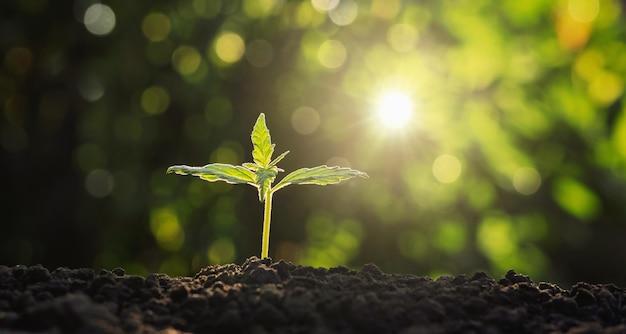 Jungpflanze des hanfs im garten mit sonnenschein