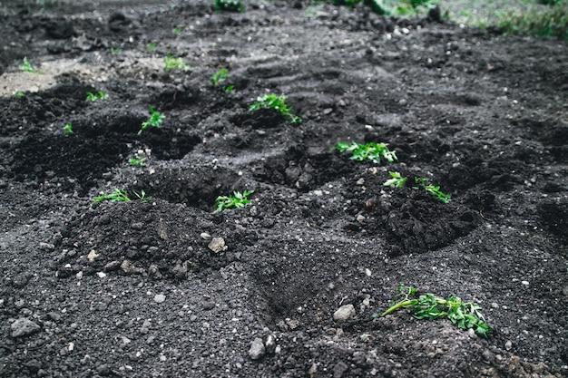 Jungpflanze, die kartoffeln auf dem boden wächst.