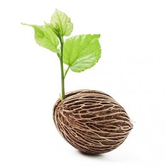 Jungpflanze, die vom samen, frische blätter lokalisiert wächst