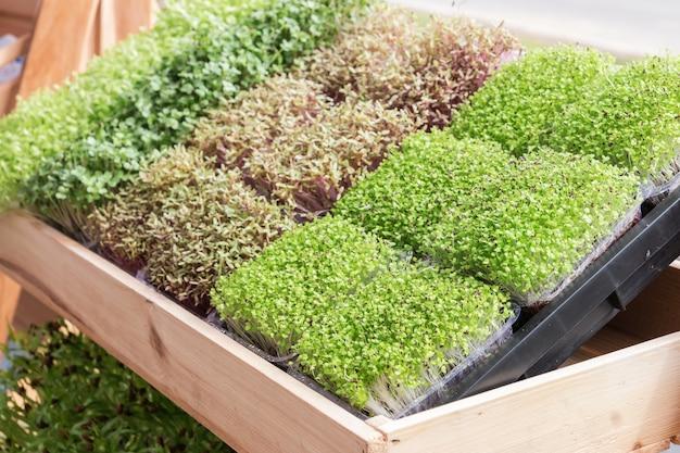 Jungpflanze oder sonnenblume sprießen in nursery tray