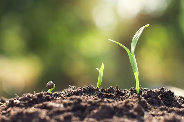 Jungpflanzenwachstumsschritt
