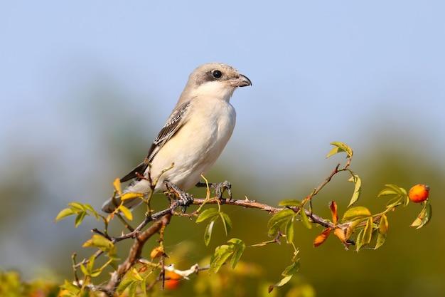Junior kleiner grauer würger (lanius minor) sitzt auf einem zweig einer heckenrose vor blauem himmel