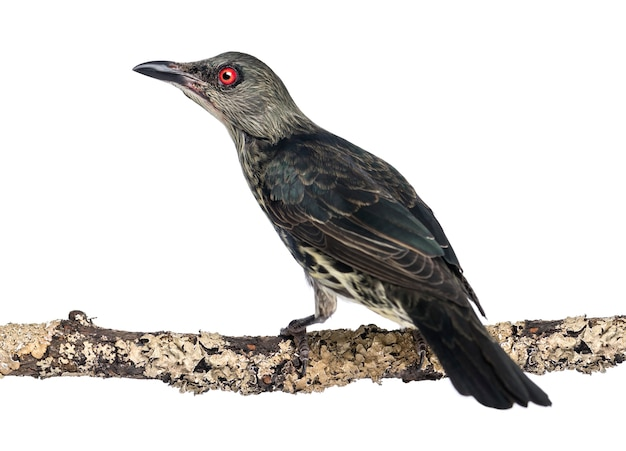 Juvenile metallic starling - aplonis metallica