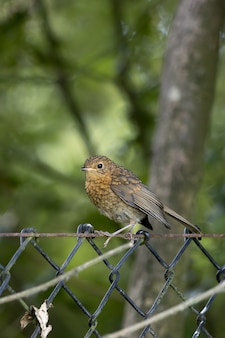 Juvenile robin thront auf einem drahtzaun