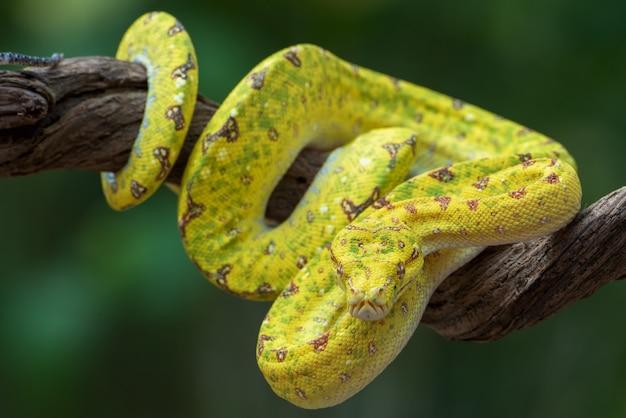 Juvenille grüner baum phyton auf ast