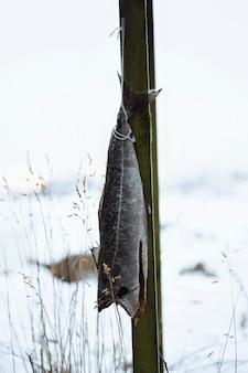 Kabeljau trocknet auf einem gerüst auf den lofoten, norwegen