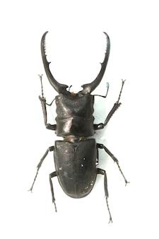 Käfer mit langen stachel-hörner