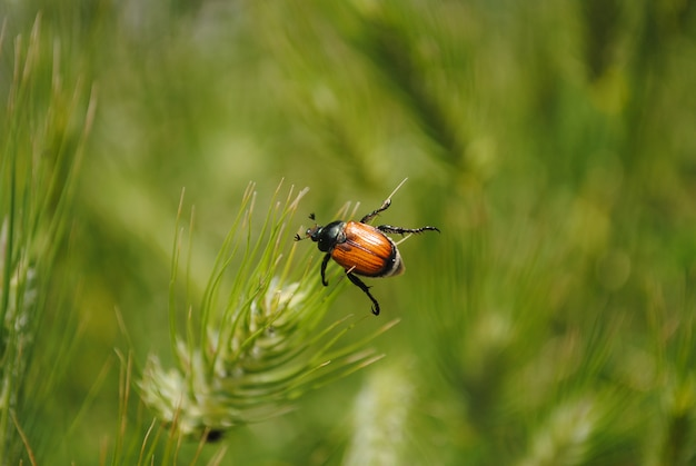 Käfer thront auf einem grashalm