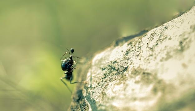 Kämpfe auf dem stein zwischen einer großen ameise, die ihre kleine ameise mit ihren kiefern fängt