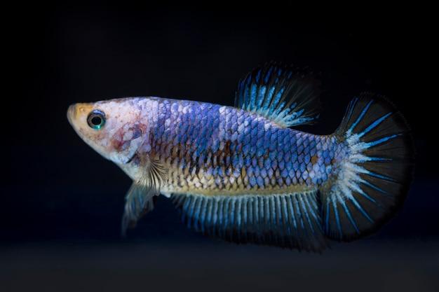 Kämpfender fisch (betta splendens) fisch mit einem schönen
