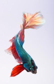 Kämpfender fisch, bunter hintergrund, halfmoon-betta fisch, siamesischer kampffisch