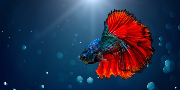 Kämpfender fisch rot blau heller hintergrund mit bokeh