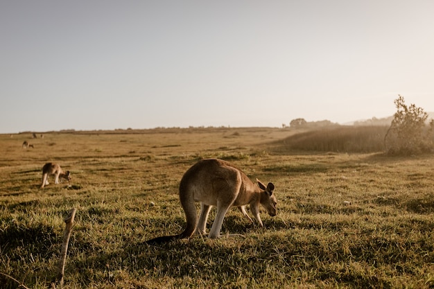 Känguru frisst gras
