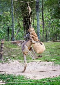 Kängurus trainieren fit für den kampf.