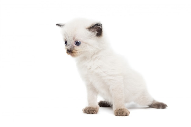Kätzchen auf weiß