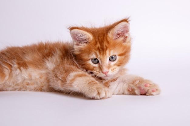 Kätzchen getrennt auf weißem hintergrund