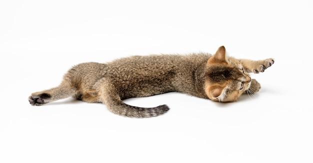 Kätzchen golden angekreuzte britische chinchilla gerade auf weißem hintergrund. katze lügt