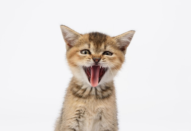 Kätzchen golden angekreuzte britische chinchilla gerade sitzt vorne auf einem weißen hintergrund. die katze öffnete den mund und streckte gähnend die zunge heraus