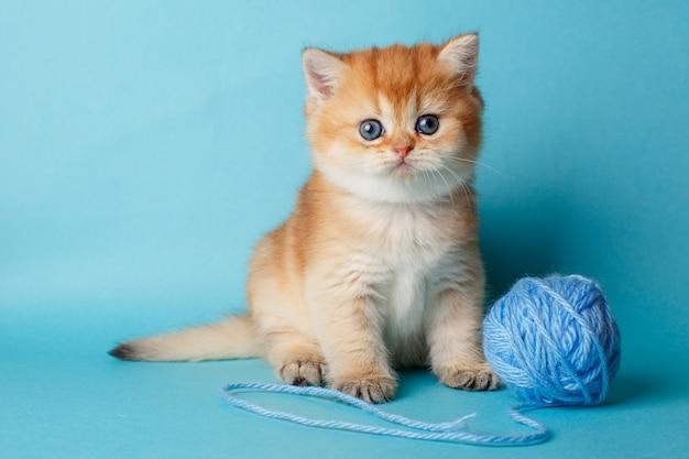 Kätzchen golden chinchilla british auf einem blauen feld mit einer kugel