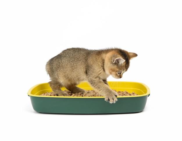 Kätzchen golden getickt britische chinchilla gerade sitzen in einer plastiktoilette mit sägemehl. tier auf weißem hintergrund