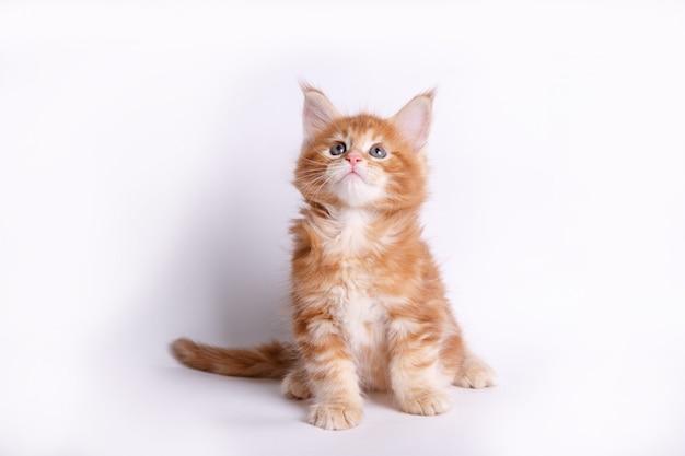 Kätzchen, isoliert auf weiss