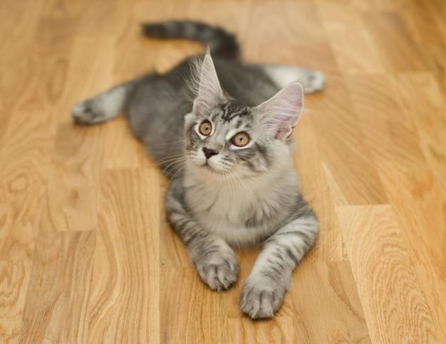 Kätzchen liegt auf einem holzboden